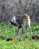 Dziecko zebra w Afryka Obrazy Stock