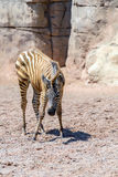 Dziecko zebra W Afrykańskiej sawannie Zdjęcia Royalty Free