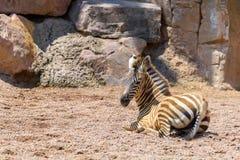 Dziecko zebra W Afrykańskiej sawannie Obraz Stock