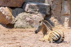 Dziecko zebra W Afrykańskiej sawannie Obrazy Stock