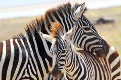 Dziecko zebra z matką Zdjęcia Stock