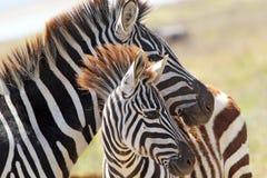 Dziecko zebra z matką Zdjęcia Royalty Free