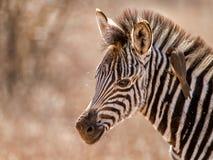 Dziecko zebra z oxpecker Fotografia Stock