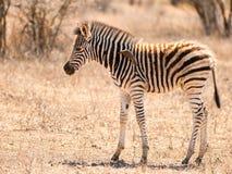 Dziecko zebra z oxpecker Fotografia Royalty Free