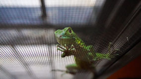 Dziecko zielona iguana Obrazy Royalty Free