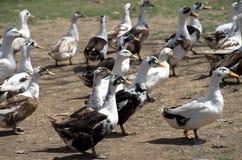 Dziedzictwo kaczki fotografia stock