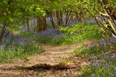 Dzielić ścieżki przez bluebells zdjęcie royalty free