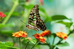 Dzienny tropikalny motyli Graphium Agamemnon lat Graphium Agamemnon na jaskrawym kwiacie, Lantana lat Lantana Obrazy Stock
