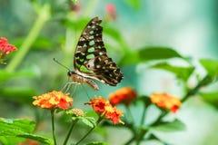 Dzienny tropikalny motyli Graphium Agamemnon lat Graphium Agamemnon na jaskrawym kwiatu Lantana lat Lantana Obrazy Stock