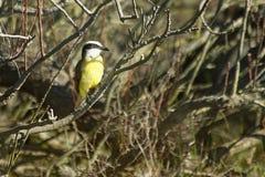 Dzierżymorda ptak Zdjęcie Royalty Free