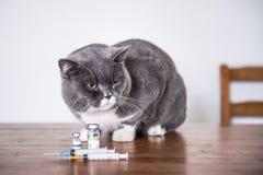 Dziesięć Brytyjski stenograficzny kot jest chory Zdjęcia Stock