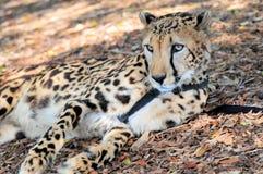 Dziesięć roczniaka gepard na smyczu w zoo Zdjęcie Royalty Free