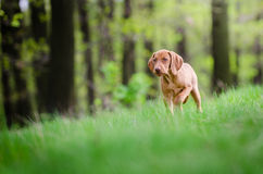 Dziesięć tygodni stary szczeniak vizsla pies w forrest w wiosna czasie Obrazy Royalty Free