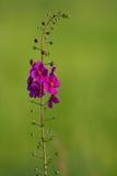 dziewann purpury fotografia royalty free