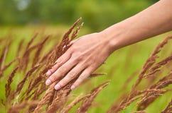 Dziewczyn uderzeń pola rożki rośliny Pojęcie jedność z naturą i czułość o świacie Obraz Royalty Free