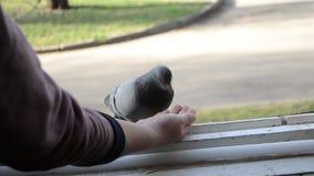 Dziewczyna żywieniowi ptaki gołąbki z rękami na domowym nadokiennym parapecie zbiory wideo