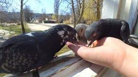 Dziewczyna żywieniowi ptaki gołąbki z rękami na domowym okno zbiory