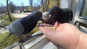 Dziewczyna żywieniowi ptaki gołąbki z rękami na domowym okno zbiory wideo