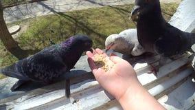Dziewczyna żywieniowi ptaki gołąbki z rękami na domowym okno zdjęcie wideo
