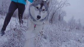 Dziewczyna chodzi z łuskowatym psem na smyczu w zim drewnach zdjęcie wideo
