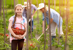 Dziewczyna chwyta kosz z świeżo ukradzionymi pomidorami fotografia stock