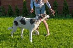 Dziewczyna dokucza psiego trakenu charcica z kawałkiem trawa gra kosmos kopii Zdjęcie Stock