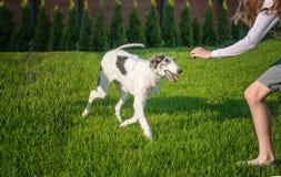 Dziewczyna dokucza psiego trakenu charcica z kawałkiem trawa gra kosmos kopii Obraz Royalty Free