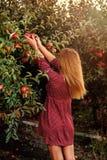 Dziewczyna podnosi czerwonych jabłka w sadzie Fotografia Royalty Free