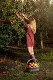 Dziewczyna podnosi czerwonych jabłka w sadzie Fotografia Stock