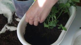 Dziewczyna przeszczepy wybijają monety od jeden kwiatu garnka inny Pracy z ziemią używać plastikową szpachelkę zbiory wideo