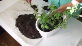 Dziewczyna przeszczepy wybijają monety od jeden kwiatu garnka inny Pracy z ziemią używać plastikową szpachelkę Dosage ja roślina  zdjęcie wideo