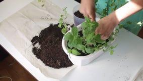 Dziewczyna przeszczepy wybijają monety od jeden kwiatu garnka inny Pracy z ziemią używać plastikową szpachelkę Dosage ja roślina  zbiory wideo