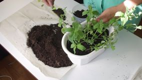 Dziewczyna przeszczepy wybijają monety od jeden kwiatu garnka inny Pracy z ziemią używać plastikową szpachelkę Dosage ja roślina  zbiory