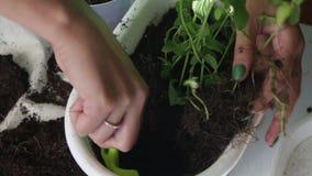 Dziewczyna przeszczepy wybijają monety od jeden kwiatu garnka inny Pracy z ziemią używać plastikową szpachelkę Stawia rośliny w n zbiory wideo