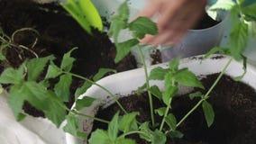 Dziewczyna przeszczepy wybijają monety od jeden kwiatu garnka inny Pracy z ziemią używać plastikową szpachelkę Zakończenie zdjęcie wideo