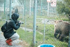 Dziewczyna robi fotografii istnego brązu duży niedźwiedź zdjęcie royalty free
