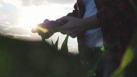 Dziewczyna rolnik z pastylką monitoruje uprawy, kukurydzany pole przy zmierzchem, zwolnionego tempa wideo ręce do góry zdjęcie wideo