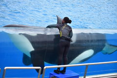 Dziewczyna trener przy zabójcy wieloryba stadium obraz stock