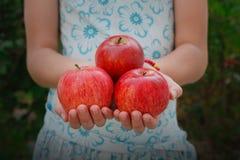 Dziewczyna trzyma czerwonych jabłka w rękach, garść przy półpostaci tłem Obrazy Stock