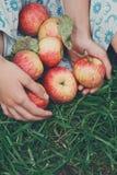 Dziewczyna trzyma jabłka w spódnicowym hemline Fotografia Royalty Free