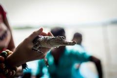 Dziewczyna trzyma troszkę krokodyla Krokodyl pokazuje ząb strukturę przy gator gospodarstwem rolnym w błotach fotografia royalty free