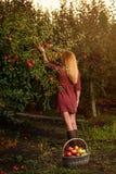 Dziewczyna w czerwieni sukni podnosi czerwonych jabłka w sadzie Zdjęcia Royalty Free