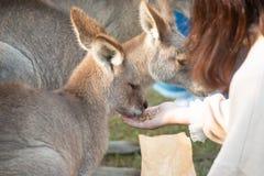 Dziewczyna żywieniowi kangury obrazy stock