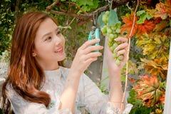 Dziewczyny cięli wiązkę winogron, zieleni i purpur winogrono, Obrazy Stock