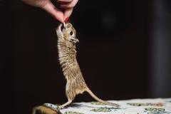 Dziewczyny karma gerbil myszy adra i ziarna Mysz podchwytów ziarno Obraz Royalty Free