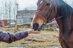 Dziewczyny karmienie koński chleb obraz royalty free