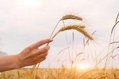 Dziewczyny mienia pszeniczni ucho w ręce na zmierzchu tle Fotografia Royalty Free