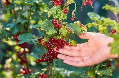 Dziewczyny ręka zbiera czerwonego rodzynku jagody od krzaka Pojęcie wiejski życie i domowa owoc Obraz Royalty Free