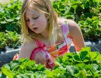 dziewczyny segregująca truskawka Zdjęcia Stock