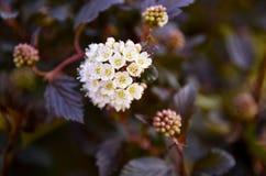 Dziewięć korowaty kwiat Fotografia Royalty Free